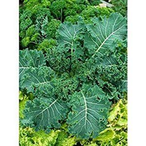 Farmerly 100 Fresh Seeds – Canola Rape – Kale – Sweet, Tender and Crunchy