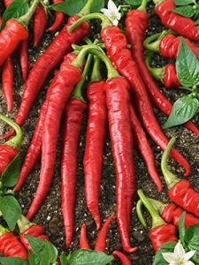 GEOPONICS 1 oz+: 50+ – 1 oz. Non-GMO NEW Long Red Cayenne Hot Pepper Seed