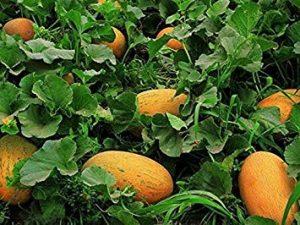 PlenTree Graines rares 20X chinois Hami melon