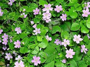 AGROBITS 20 BEAUTÉ rose Pourpier Claytonia SibiriFlowes