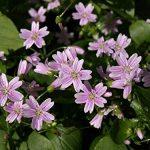 AGROBITS 20 BEAUTÉ rose Pourpier Claytonia SibiriFlowes