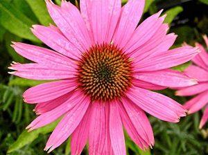 CUSHY Echinacea purpurea   Est échinacée   20_Seeds