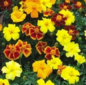 Farmerly 50 Seeds of Marigold French Disco Mix Detailed Plant Seeds