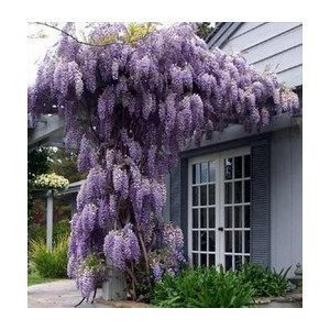 Farmerly Blue Japanese Wisteria Vine 10 Seeds – Hard to Find! Stunning