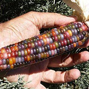 Fash Lady 2: Graines de maïs sucrées gluantes, céréales de grains de maïs colorées, graines de maïs Légumes pour jardin à la maison 30 pcs/pack