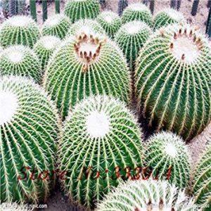 Fash Lady « Hot `Opuntia dillenii graines 1pcs / pack (100 graines) plantes succulentes gamme balle chair chair fantaisie morphologique