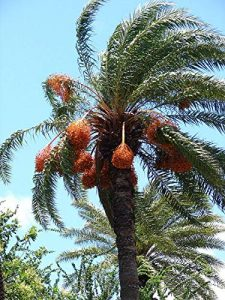 PlenTree 10+ Argent Palmier Dattier Phoenix sylvestris Seedlings Froid Hardy Paysage Palmier