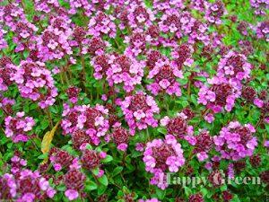 AGROBITS FUITE Thym – VIOLET – 4200- Thymus serpyllum – FLEURS