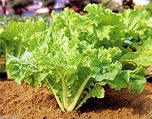 CUSHY 1 oz Graines: ASIAN VERTS»Jen Fun» feuille froufrous pak-choï ou»Bok Choy» récolte à un stade quelconque (1 oz Seeds)