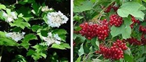 Fash Lady canneberge, CANNEBERGE DE CHAIR, opulus viburnum, 40 graines! GroCo