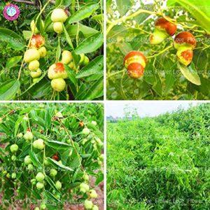 ShopMeeko GRAINES: 10PCS Jujube plante délicieuse nutrition plante douce fruits des plantes rares Décoration jardin