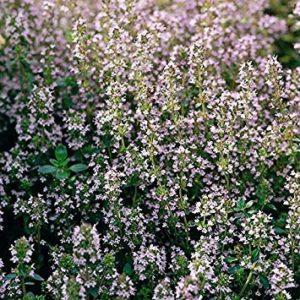 Shop Meeko Thym commun – Thymus vulgaris – 1000 graines