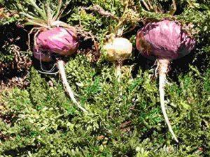 Asklepios-seeds® 100 Gramm garines de Lepidium meyenii, L. peruvianum, Maca, jaune , ca 150.000 graines