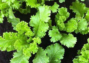 Fash Lady 400 + SUD DE GÉANT CÔTÉ GREEN COTES GREEN Seeds Organique Non-GMO SPROUTS Jardin
