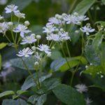 GEOPONICS semences/paquet 200 Clemati na VIERGE » Bower