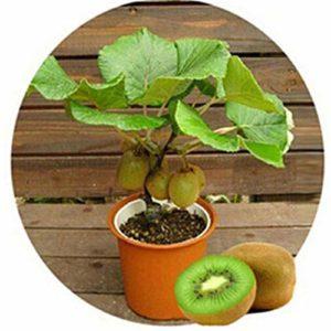 AGROBITS Graine comestible sucré 100P fruits kiwi et Source verte Fruit La pleine nutrition des plantes