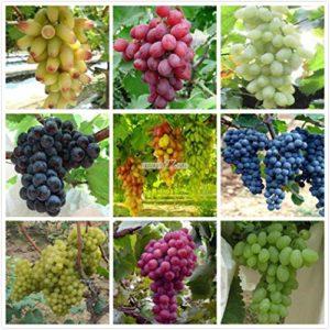 AGROBITS Type19: New N Santé Fonction Avantages Fruits Nutritifs de pépins de raisin 01 RR6