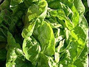 Fash Lady 100+ Graines de laitue Beurre Croustillantes BIO ~ Salade verte ~ Pollinisation ouverte