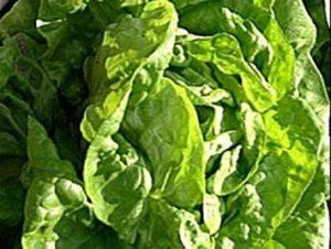 Fash Lady 50+ Graines de laitue Beurre Croustillantes BIO ~ Salade verte ~ Pollinisation ouverte
