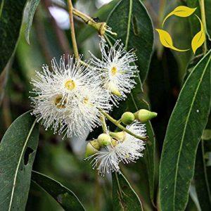 Fash Lady GOMME DE ROSE Eucalyptus Grandis – 100+ GRAINES