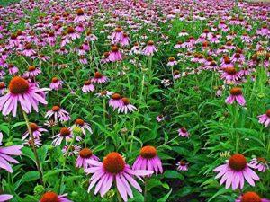 AGROBITS Échinacée (Ecnacea purpurea violet) 40 (# 1292)