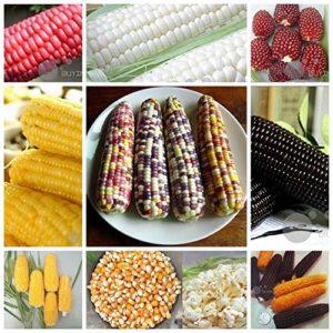 AGROBITS Jaune y 10: Fruit s – Swe maïs y pcorn rouge non-OGM Heirloom