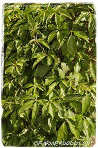 AGROBITS Parthenocissus quinquefolia « » [Prov: Cre, Grèce] 20 VOIR