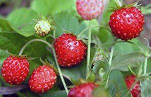 AGROBITS RemontantSee organique»Rugen» 200 Voir. Swe