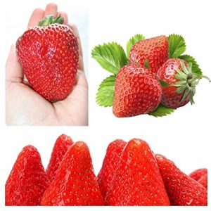 AGROBITS PAILLE * *, FRUITS IMMEDIATEMENT, remontantes 40Hot UK